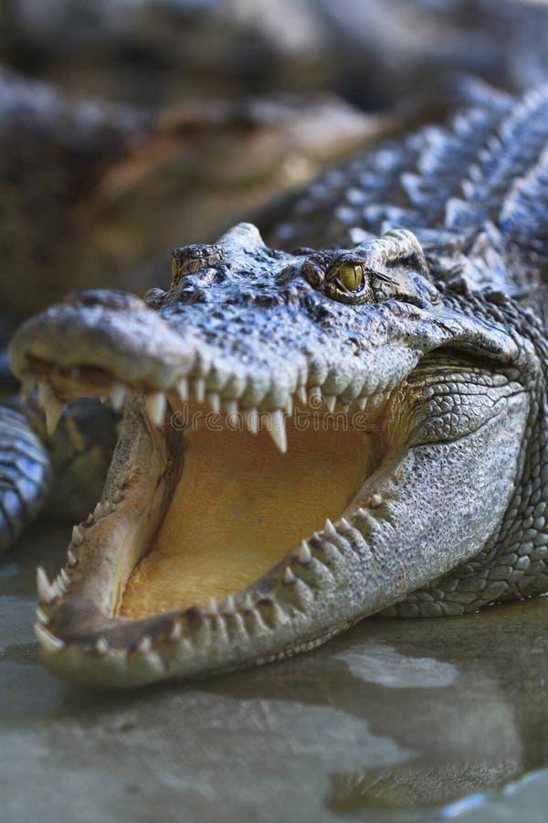 Um crocodilo foto de stock