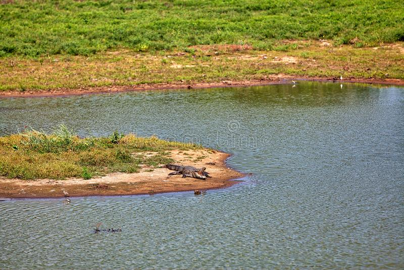 Um crocodilo com a boca aberta grande larga está colocando em uma lagoa com cegonha e a garça-real coloridas no Yala Nationalpark imagem de stock royalty free