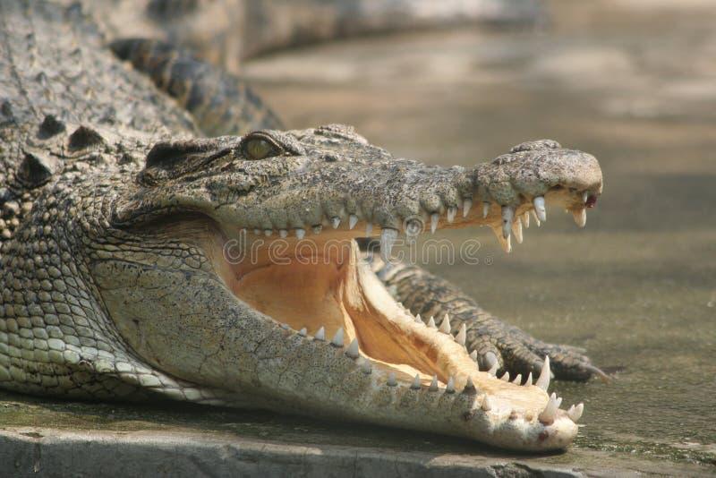 Um crocodilo de sorriso fotografia de stock royalty free