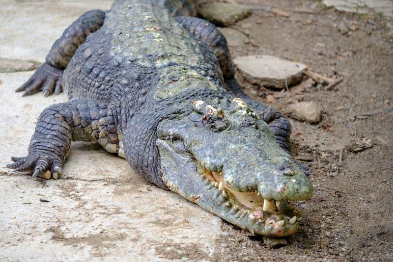 Um crocodilo enorme na terra com maxilas abertas e com teeths fotografia de stock
