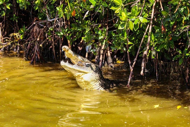 um crocodilo está caçando para o alimento foto de stock royalty free