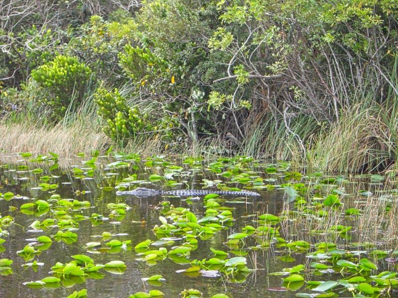 um crocodilo na superfície imagens de stock royalty free