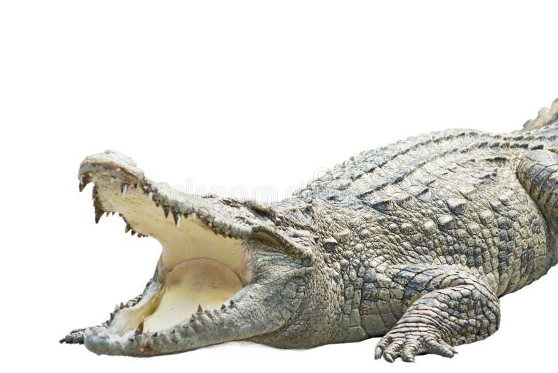 Um crocodilo no branco imagens de stock royalty free