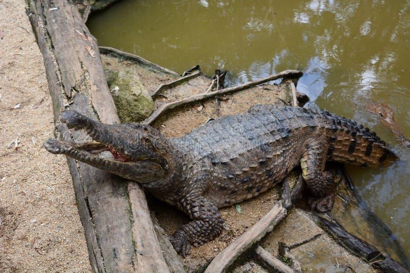 Um crocodilo pela lagoa Explora??o agr?cola do crocodilo de Hartley Wangetti Condado de Douglas queensland austr?lia fotos de stock royalty free
