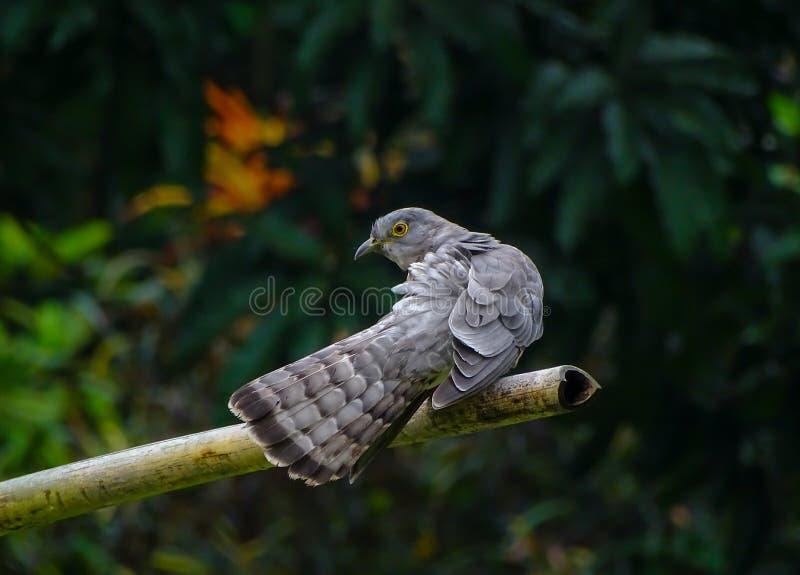 Um cuco comum do falcão é cleanig suas asas fotografia de stock royalty free