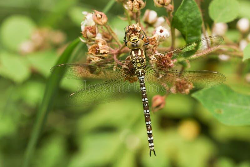 Um cyanea do sul de Dragonfly Aeshna do vendedor ambulante empoleirou-se em uma flor da amora-preta foto de stock