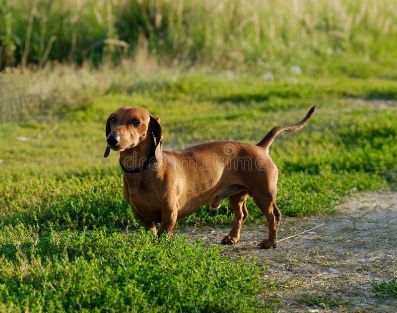 Um dachshund fotografia de stock royalty free