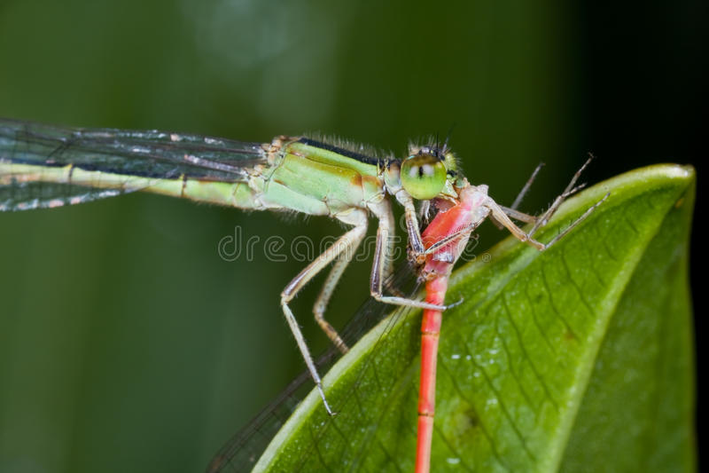 Um damselfly verde que come um damselfly vermelho foto de stock