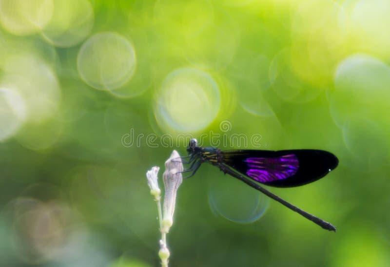 Um damselfly voado roxo na flor em botão