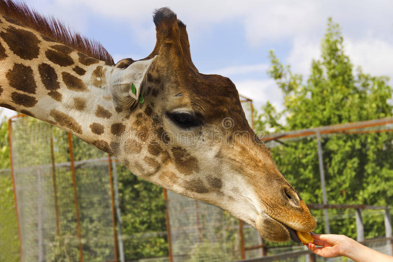 Um deleite para o girafa foto de stock