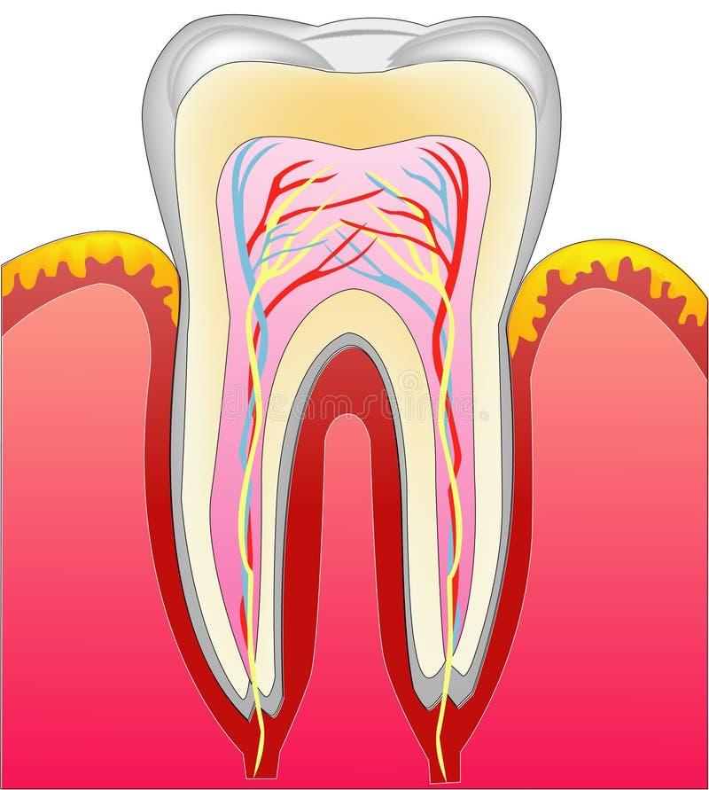 Um dente ilustração stock