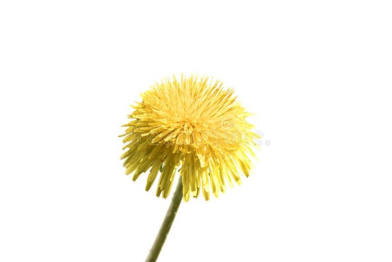 Um dente-de-leão no fundo branco, isolado amarelo da flor imagem de stock