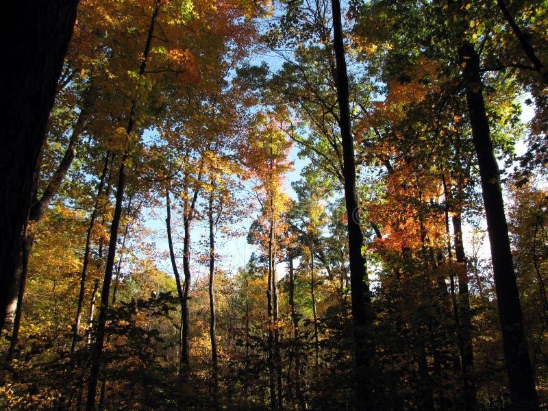 Um dia da queda entre as árvores de hicória imagens de stock
