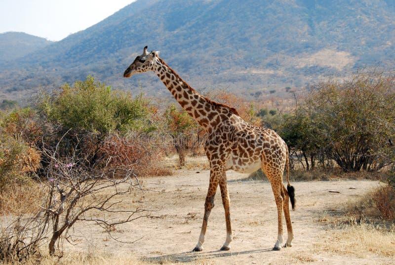 Um dia do safari no parque nacional de Ruaha - girafa fotografia de stock