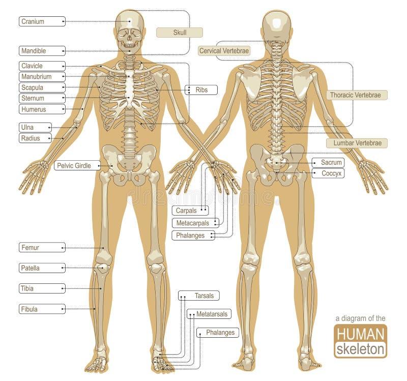 Um Diagrama Do Esqueleto Humano Ilustração do Vetor - Ilustração de ...