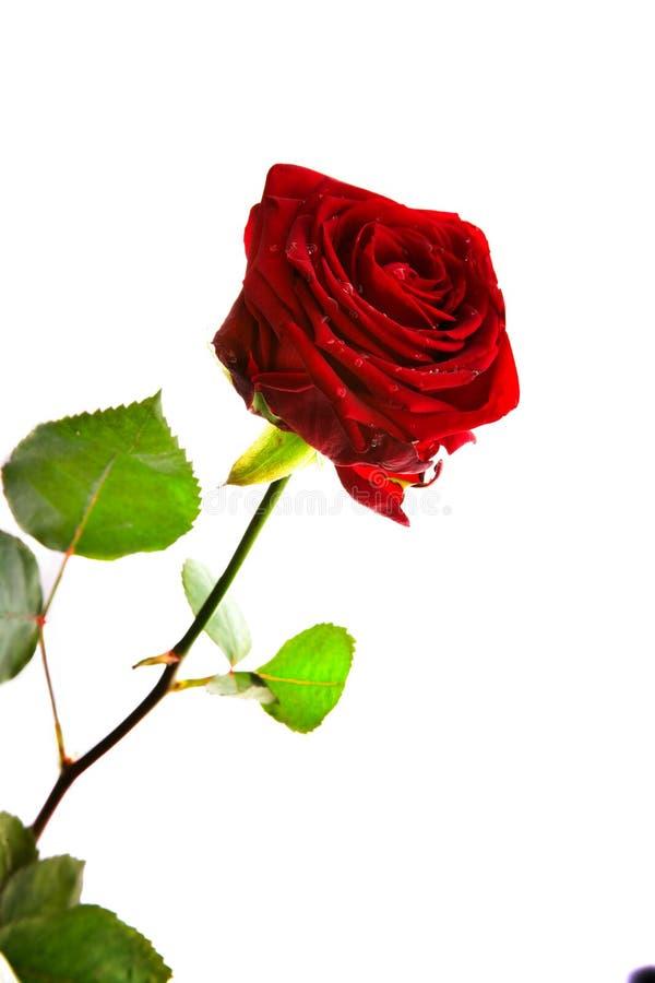 Um dobro vermelho levantou-se fotografia de stock royalty free