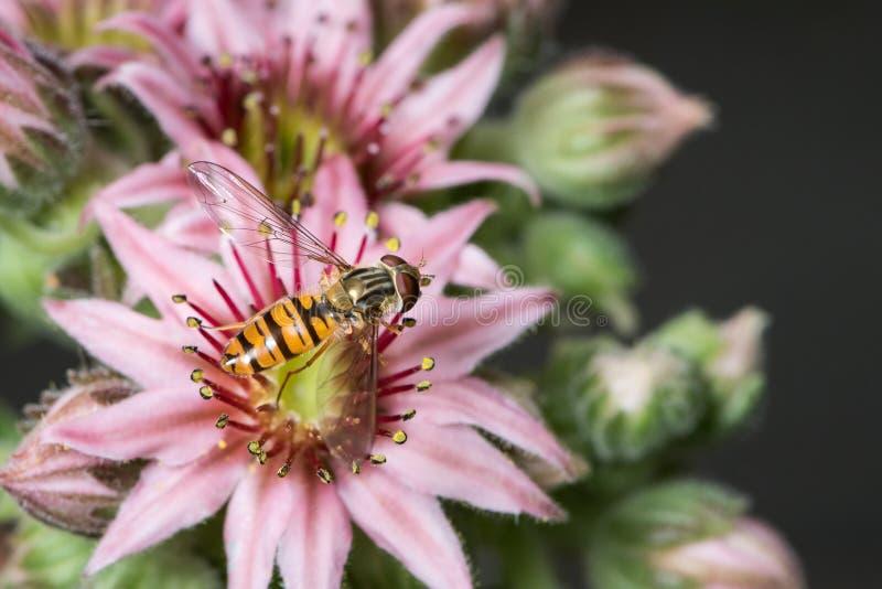 Um doce de fruta fêmea que senta-se hoverfly em uma flor do houseleek imagens de stock royalty free