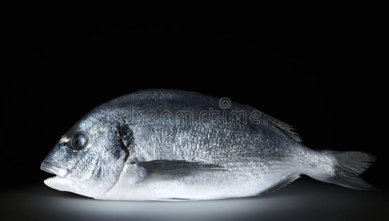 Um dorado dos peixes no fundo preto fotografia de stock royalty free