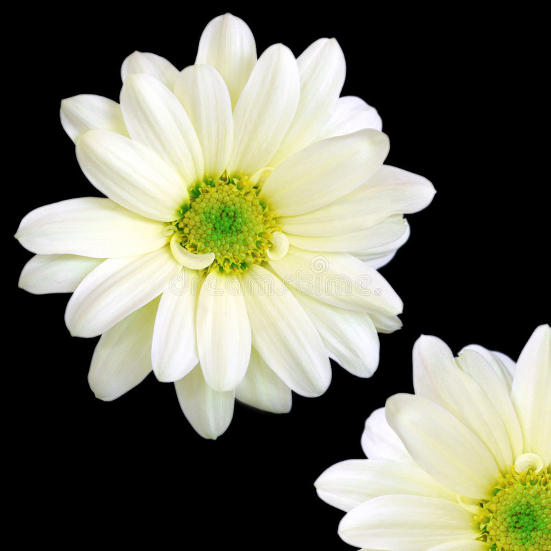 Download Um e um quarto imagem de stock. Imagem de chrysanthemums - 91119