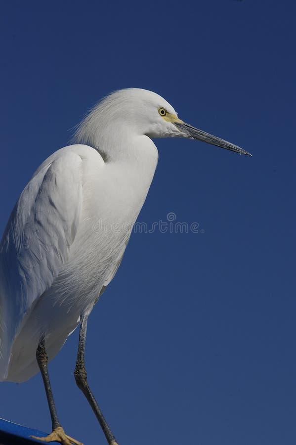 Um Egret Fotos de Stock