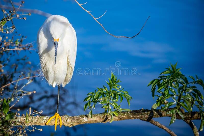 Um Egret de Snowy White em Orlando, Florida imagens de stock royalty free