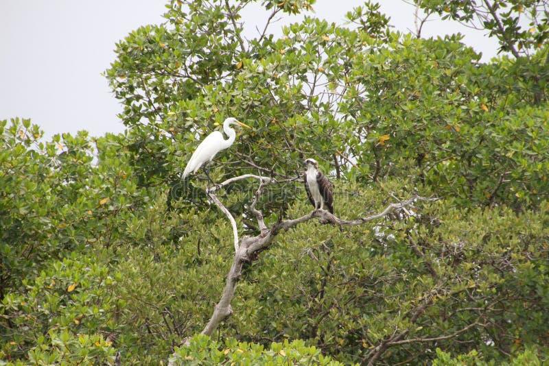 Um Egret e uma águia pescadora imagens de stock