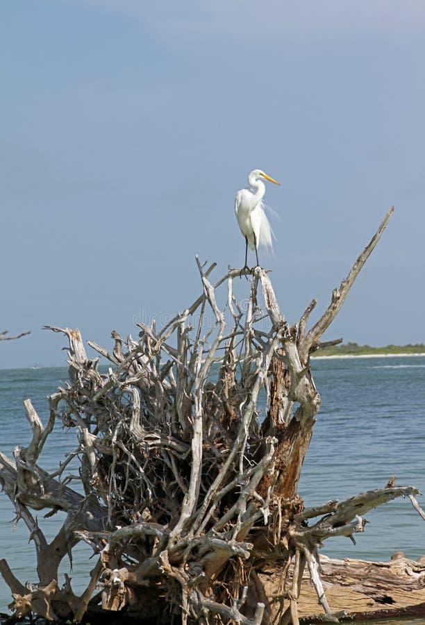 Um Egret nevado na madeira lançada à costa foto de stock