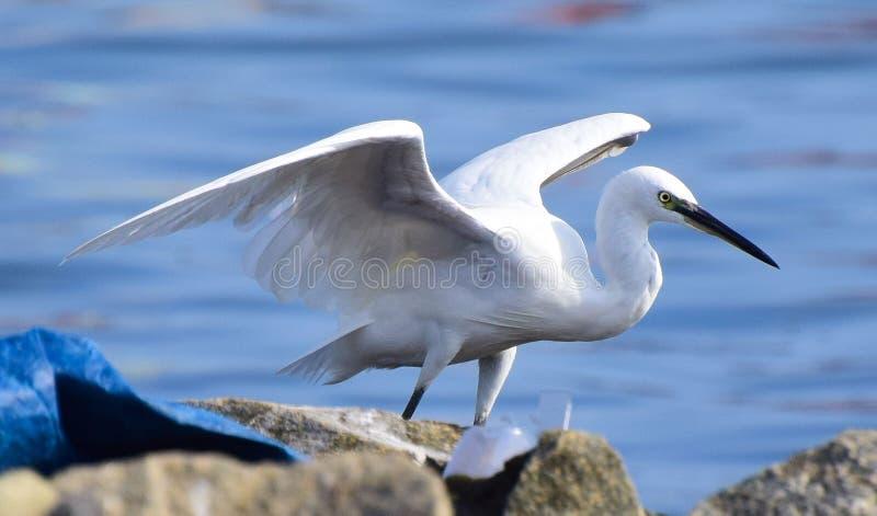 Um egret nevado pronto para uma mosca imagem de stock
