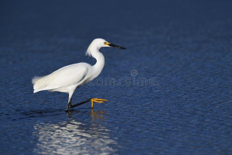 Um Egret nevado que anda na água imagem de stock royalty free