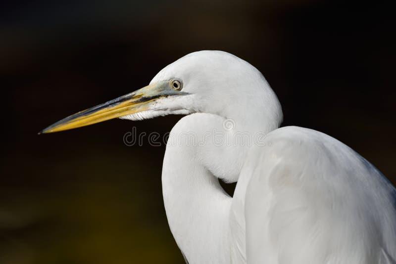 Um Egret nevado que anda na água imagens de stock