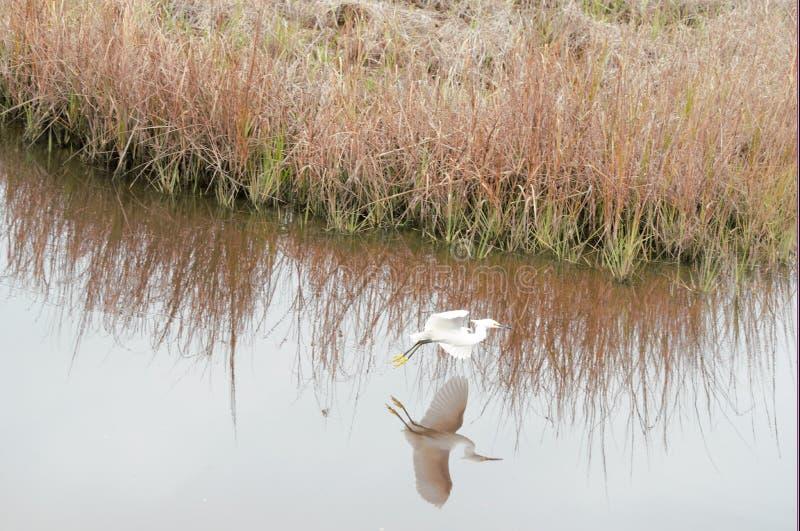 Um Egret nevado voa sobre o rio do greenway em Amelia Island fotografia de stock