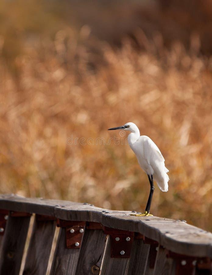 Um Egret pequeno em uma cerca imagens de stock