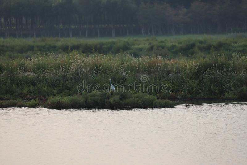 Um Egret solitário no parl novo das molhado-terras de Bohai imagens de stock royalty free