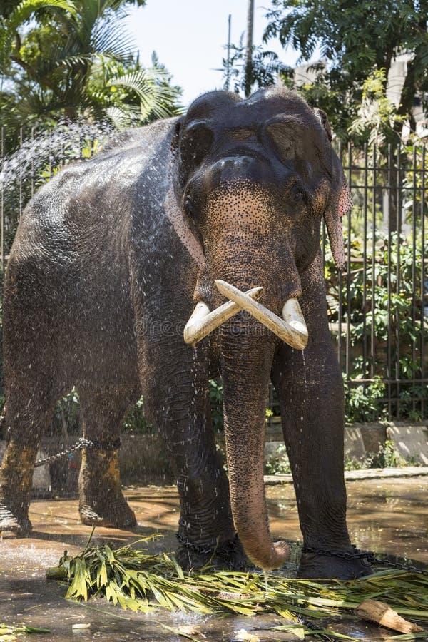 Um elefante é limpado para um festival imagens de stock