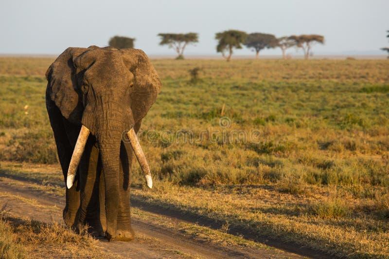 Um elefante africano no nascer do sol fotografia de stock royalty free