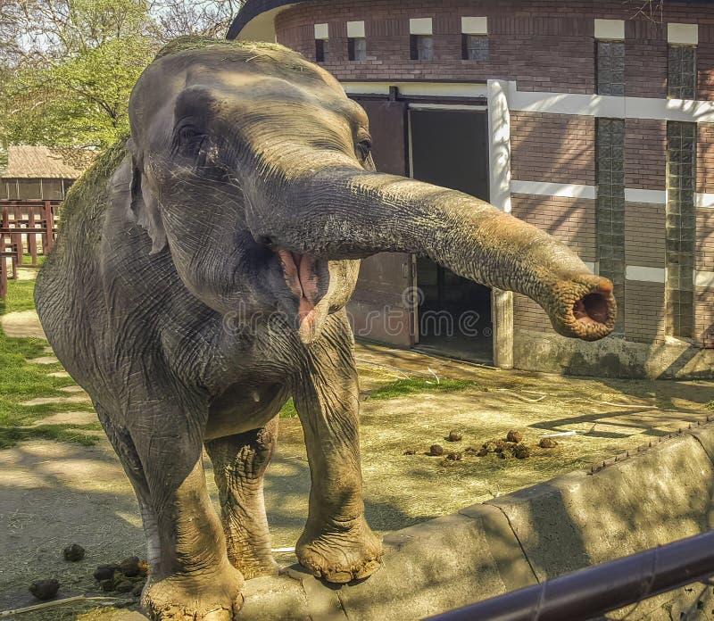 Um elefante com um probóscide esticado fotos de stock
