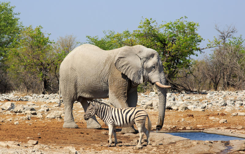 Um elefante está por um waterhole com um fim da zebra perto fotografia de stock royalty free
