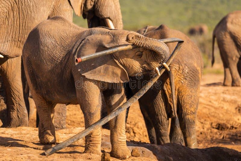 Um elefante novo joga com lixo em Addo Elephant Nationalpark imagens de stock