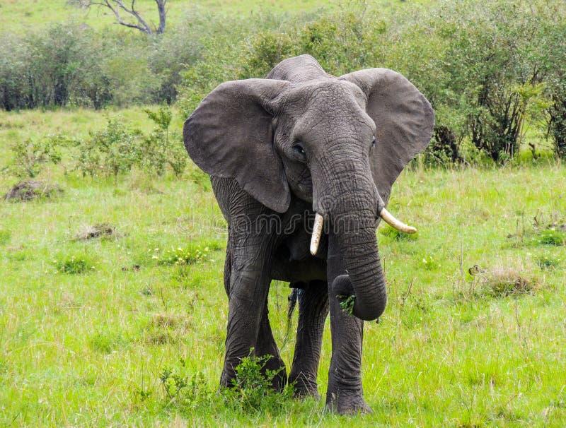 Um elefante que alimenta em um arbusto fotografia de stock