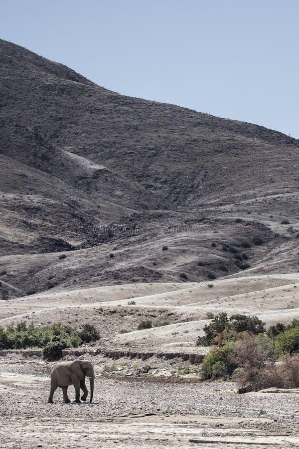 Um elefante solit?rio do deserto que anda em Purros, Kaokoland, regi?o de Kunene nafta Paisagem ?rida na cama de rio fotos de stock
