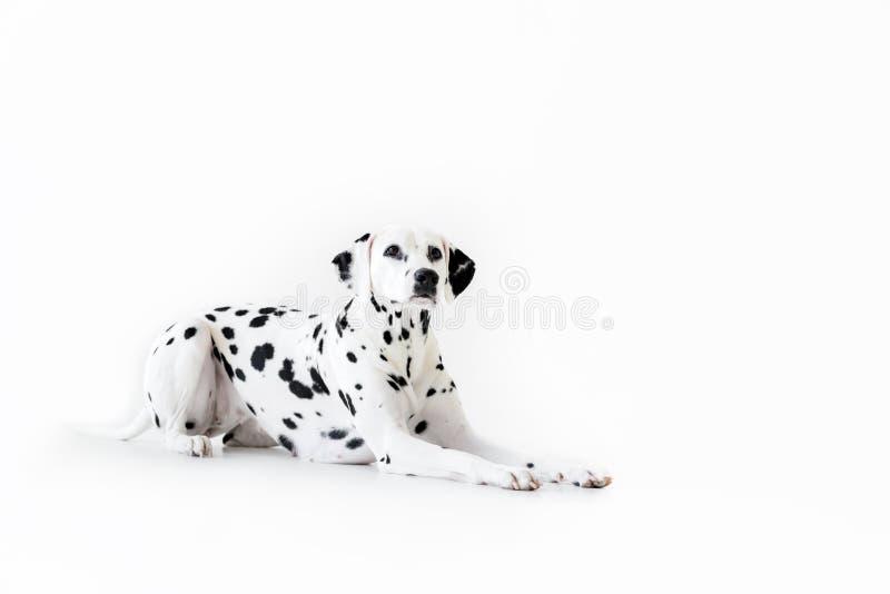 um encontro dalmatian bonito do cão imagem de stock