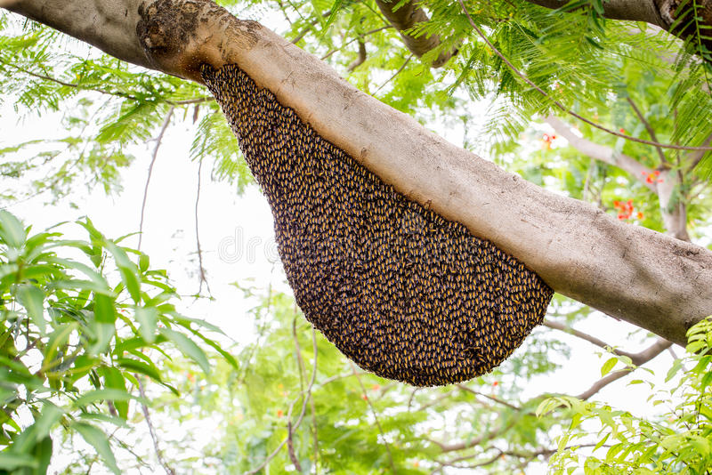 Um enxame de abelhas do mel foto de stock royalty free
