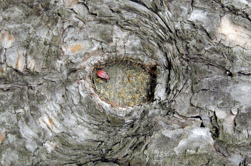 Um erro em um furo pequeno em uma casca de árvore fotografia de stock royalty free