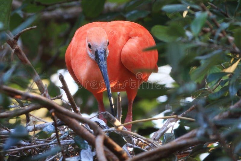 Um escarlate dos íbis é representado aqui Esta é uma fotografia do pássaro dos animais selvagens dos marismas em Florida, EUA foto de stock