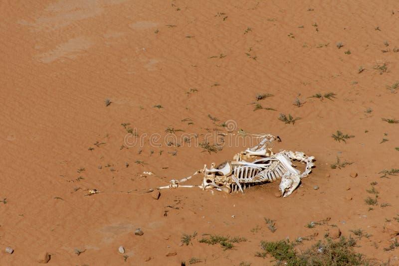 Um esqueleto do camelo na areia do deserto imagens de stock