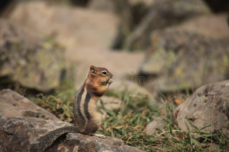 Um esquilo é suporte na rocha, comendo imagem de stock
