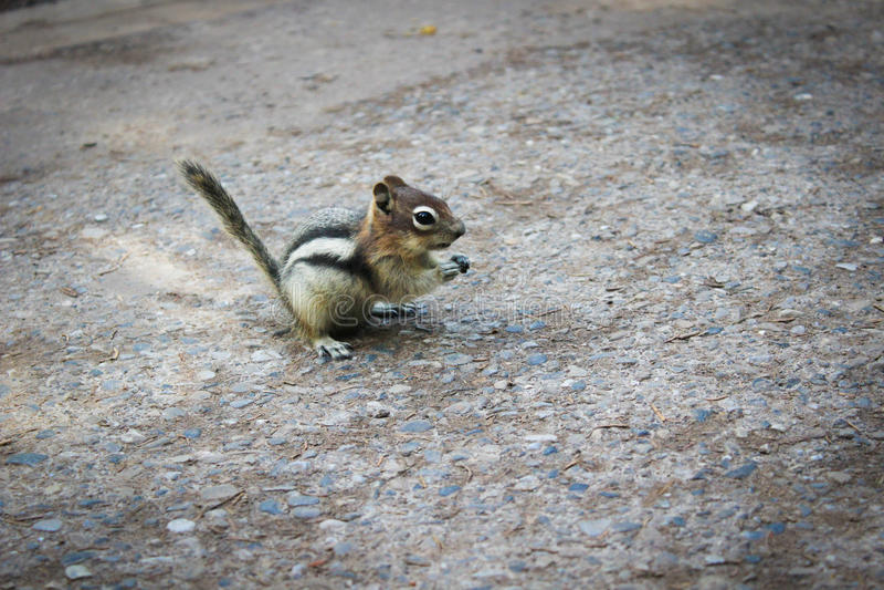 Um esquilo amigável fotos de stock royalty free