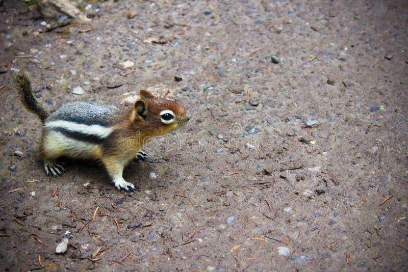 Um esquilo amigável fotografia de stock