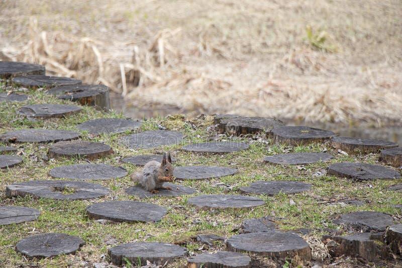 Um esquilo com uma cauda macia come as porcas que sentam-se em um coto de madeira Animal do roedor de Brown na natureza para come fotografia de stock
