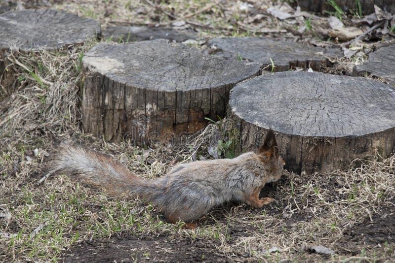 Um esquilo com uma cauda macia está procurando porcas sobre ao lado de um coto de madeira Roedor animal de Brown em natural imagens de stock